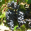 grapes_malbec